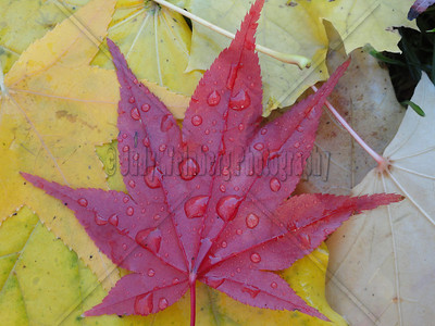 Wet Red Leaf