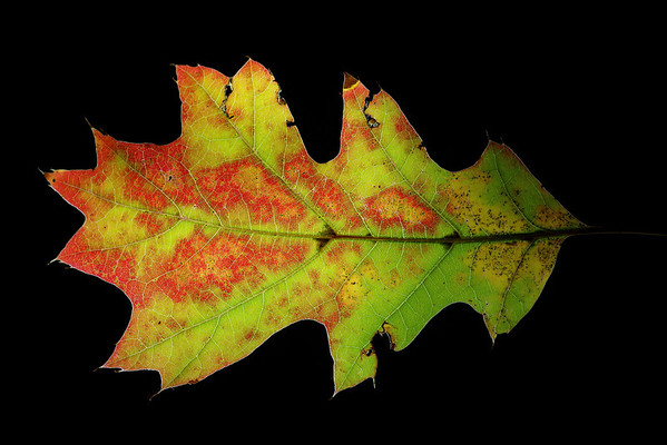 The Leaf , high resolution macro photographs of Autumn leaves picked from local park