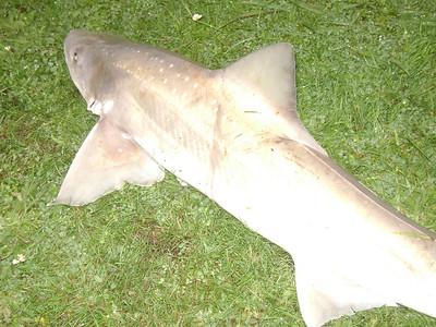 Spotty Shark