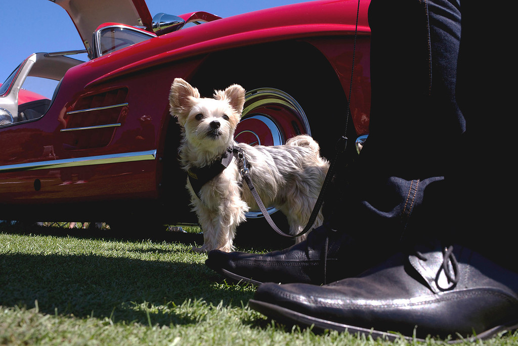 . Robert Oberhofer stands with his dog, Bently, in front of a 1955 Mercedes Benz Gullwing 300SL Friday, August 16th, 2013 at the Legends of the Autobahn car show at Rancho Canada Golf Course. (Matthew Hintz/Monterey County Herald)