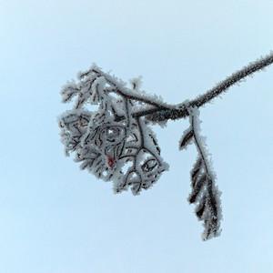 Pihlaja talvella - Rowan in winter