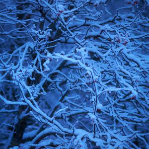 Pihlaja sinisessä valossa - Rowan in a blue light