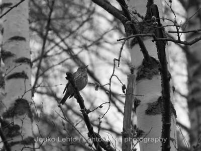Laulurastas (Turdus philomelos) - Song Thrush