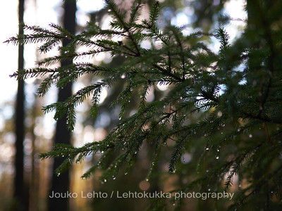 Sadepisaroita kuusen oksalla - Raindrops on the spruce twig