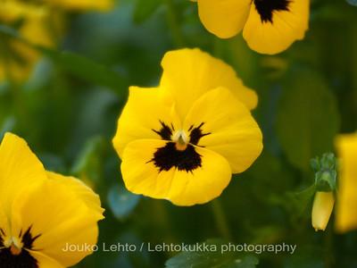 Tarhaorvokki (Viola × wittrockiana) - Pansy violet