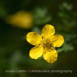 Pensashanhikki (Dasiphora fruticosa) - Shrubby Cinquefoil