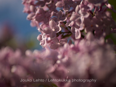 Unkarinsyreeni (Syringa josikea) - Hungarian lilac