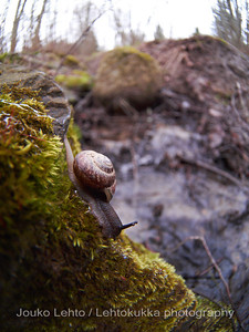 Lehtokotilo (Arianta arbustorum) - Copse Snail