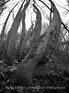 Haavat (Populus tremula) - Aspen