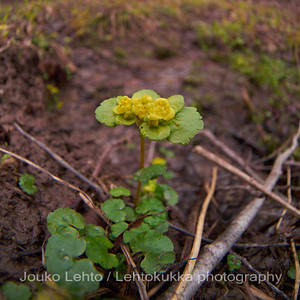 Kevätlinnunsilmä (Chrysosplenium alternifolium) - Alternate-leaved Golden Saxifrage
