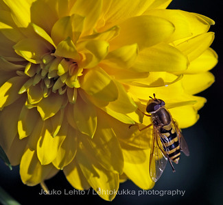 Hoverfly on a Goldball