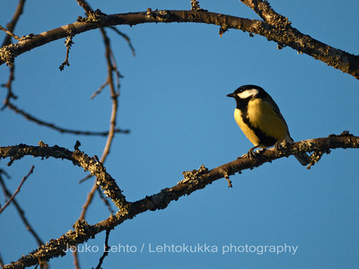 Talitiainen (Parus Major) - Great tit