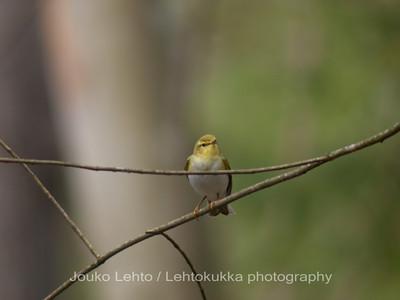 Sirittäjä (Phylloscopus sibilatrix) - Wood Warbler