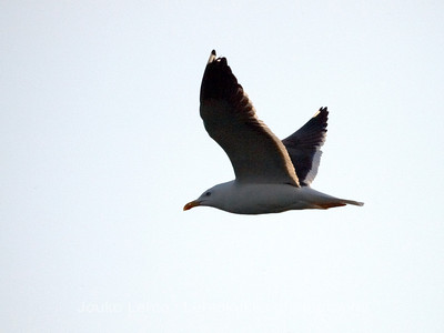 Merilokki (Larus marinus) - Great Black-backed Gull