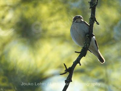 Pied Flycatcher, Kirjosieppo, Ficedula hypoleuca