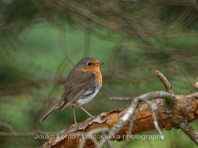 Punarinta (Erithacus rubicula) -  European Robin