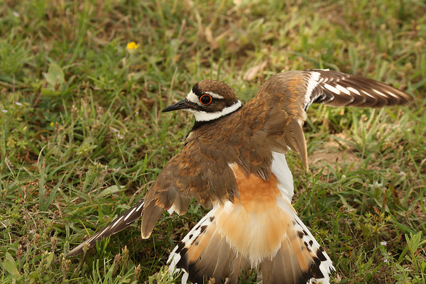 A killdeer (Charadrius vociferus) giving the broken wing display (2009_06_03_021847)