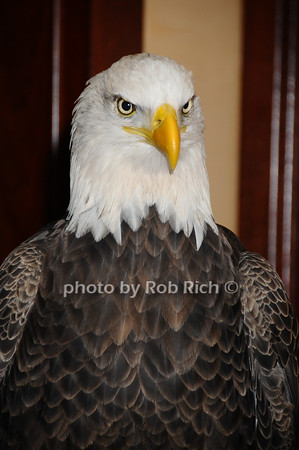 Challenger (Bald Eagle)<br /> photo by Rob Rich © 2009 robwayne1@aol.com 516-676-3939