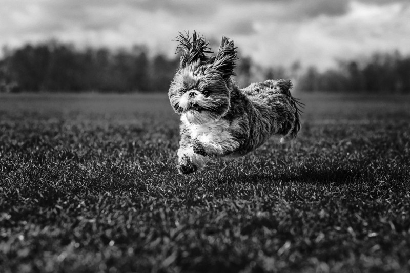 Portrait of a Shih Tzu