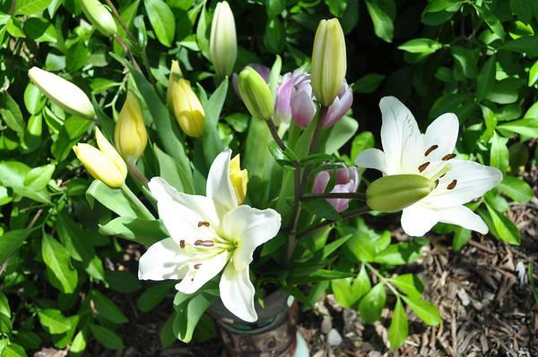Lilies and tulips April 2010