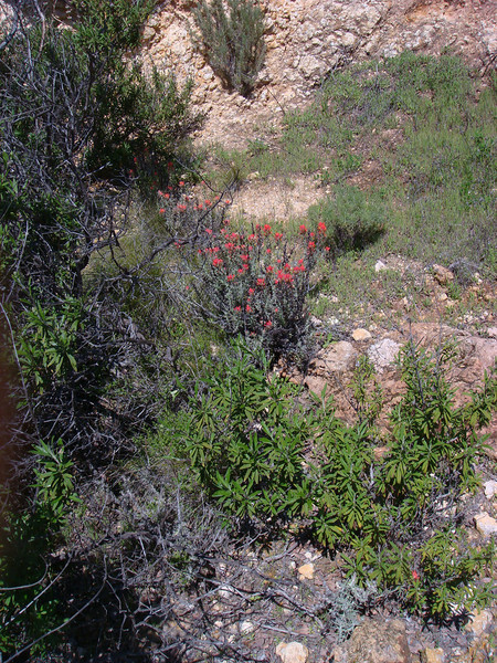 Seems early for Indian Paintbrush, but nobody told them that.
