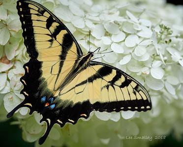 Limelight Hydrangeas and Butterflies