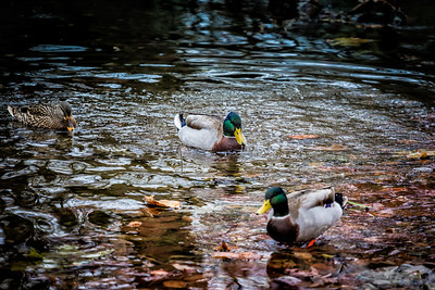 Mallards In The Creek