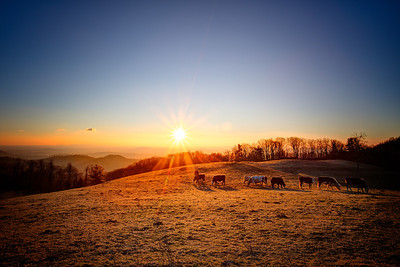Cattle Sunrise