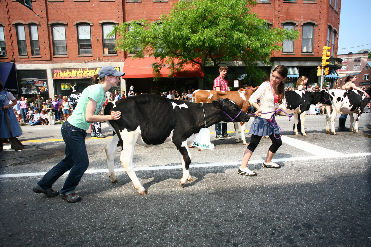 Allie Jesup and Coral Kenc-dennis of the Putney school cajole with their young Heifer  into moving on Saturday at the Strolling of the Heifers in Brattleboro, VT. The annual procession of 100 heifers through the small town raises awareness for Vermont agriculture and products. (Photo moved on the New England AP wire)
