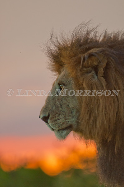 "Notch (Kali in ""African Cats movie).  Huge Male who is taking over Kenya's Mara!  I stood next to Shem as we were in awe at this amazing Lion in the best of Africa's sunsets!"