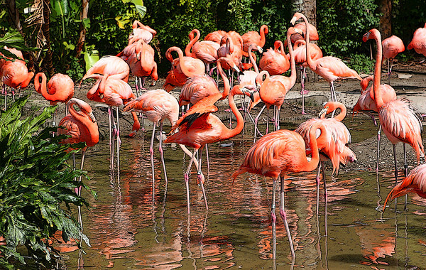 Flamingos Repose