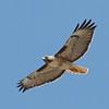 Red-tailed Hawk, Richmond Avenue, Coyote Valley, Santa Clara County, 12-April-2013