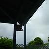 Mama Shama perched on the birdhouse