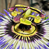 The Fantastic Passion Flower