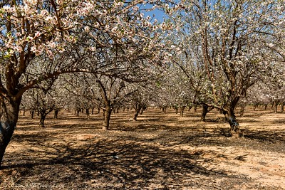 Floreshing Almonds and More