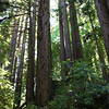 Those are redwoods.