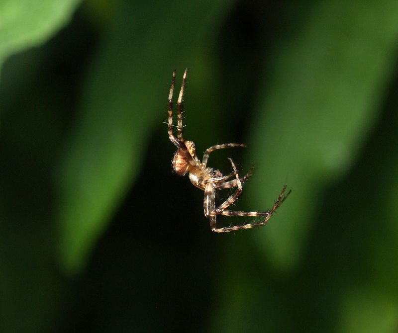 LONDON GARDEN SPIDER