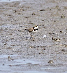 Little Ringed Plover, April