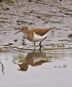 Common Sandpiper, May