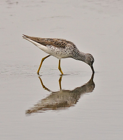 Greenshank, May
