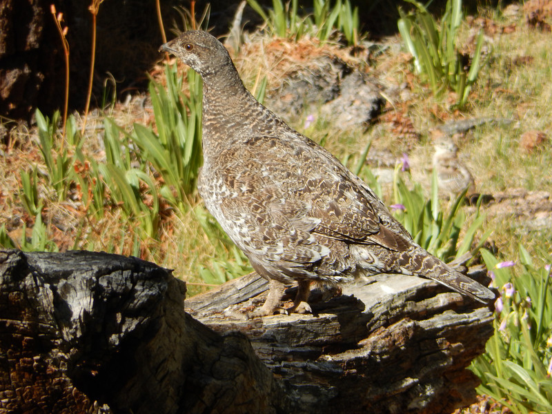 Nor did the mother grouse guarding her brood.