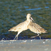 a long-billed curlew and a marbled gotwit square off over<br /> a piece of sand