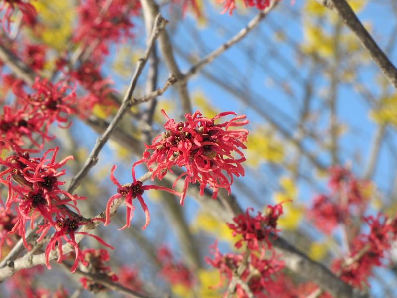 Witch Hazel Trees, Longwood Gardens
