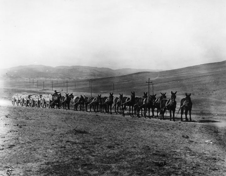 . A team of 16 mules is hauling 4 wagons of supplies on their way to the L.A. Aqueduct construction camp. (Los Angeles Public Library)