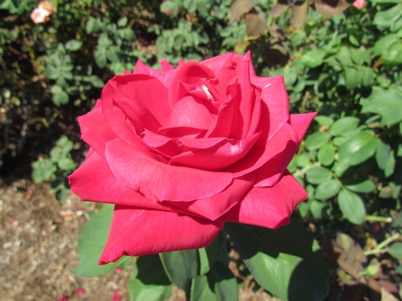 Another rose.