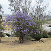 The jacaranda trees were near the end of their blooming but they're still very colorful.