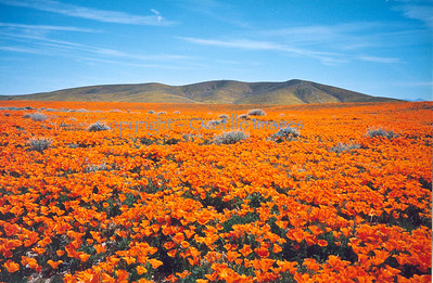 Red Poppy Plains and Gold Fields Hills / Lancaster, CA