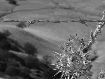 Barbed wire and a flower past its prime.