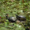 Yellow bellied sliders.