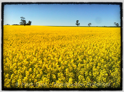 Canola field near Nhill